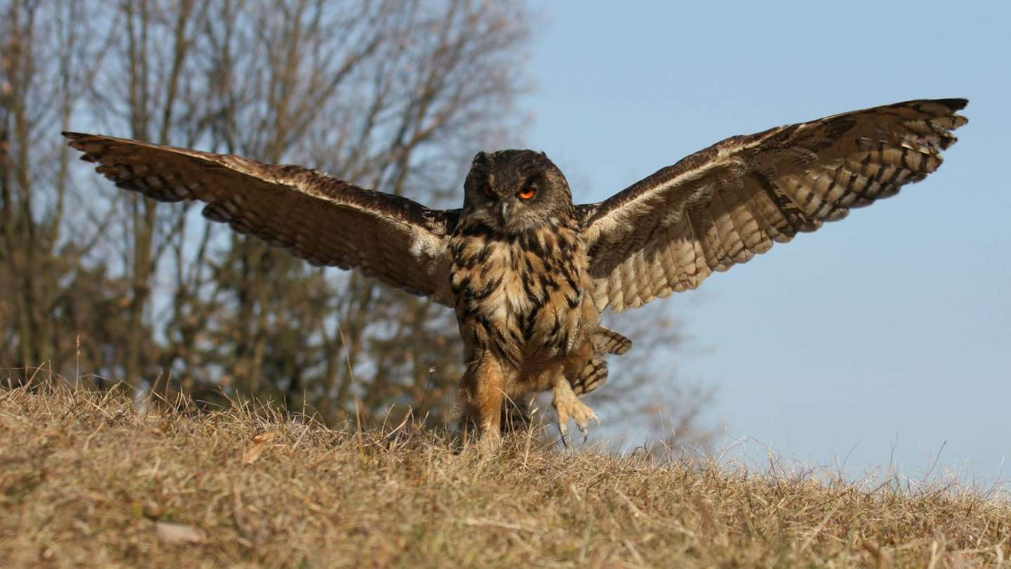 Bird Academy presents the largest owl