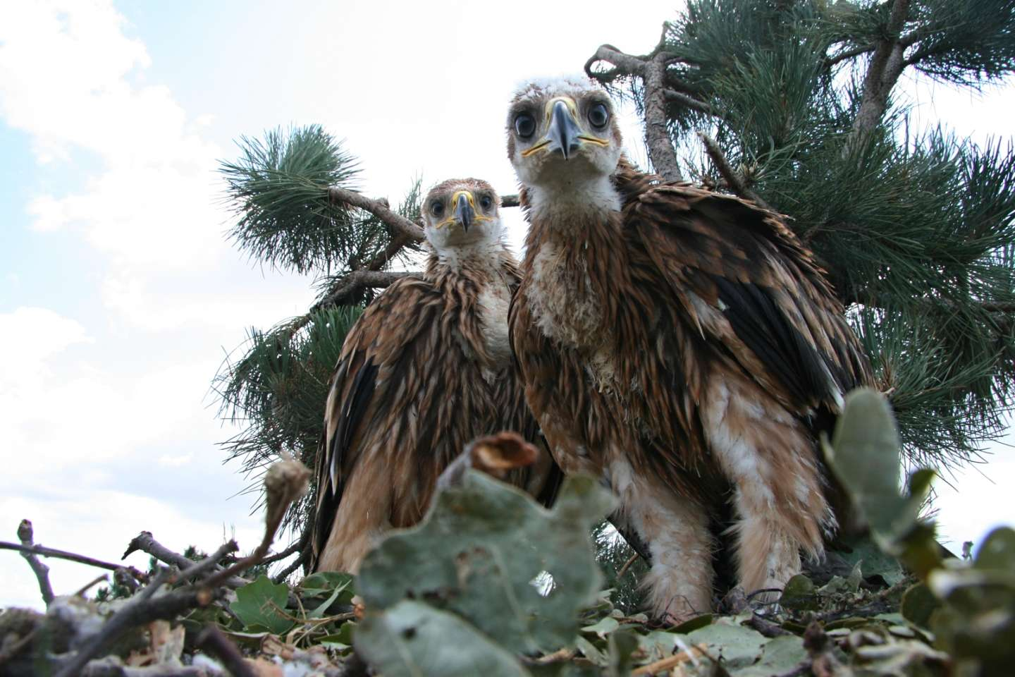 Nestling of Imperial Eagle became adoptive parents