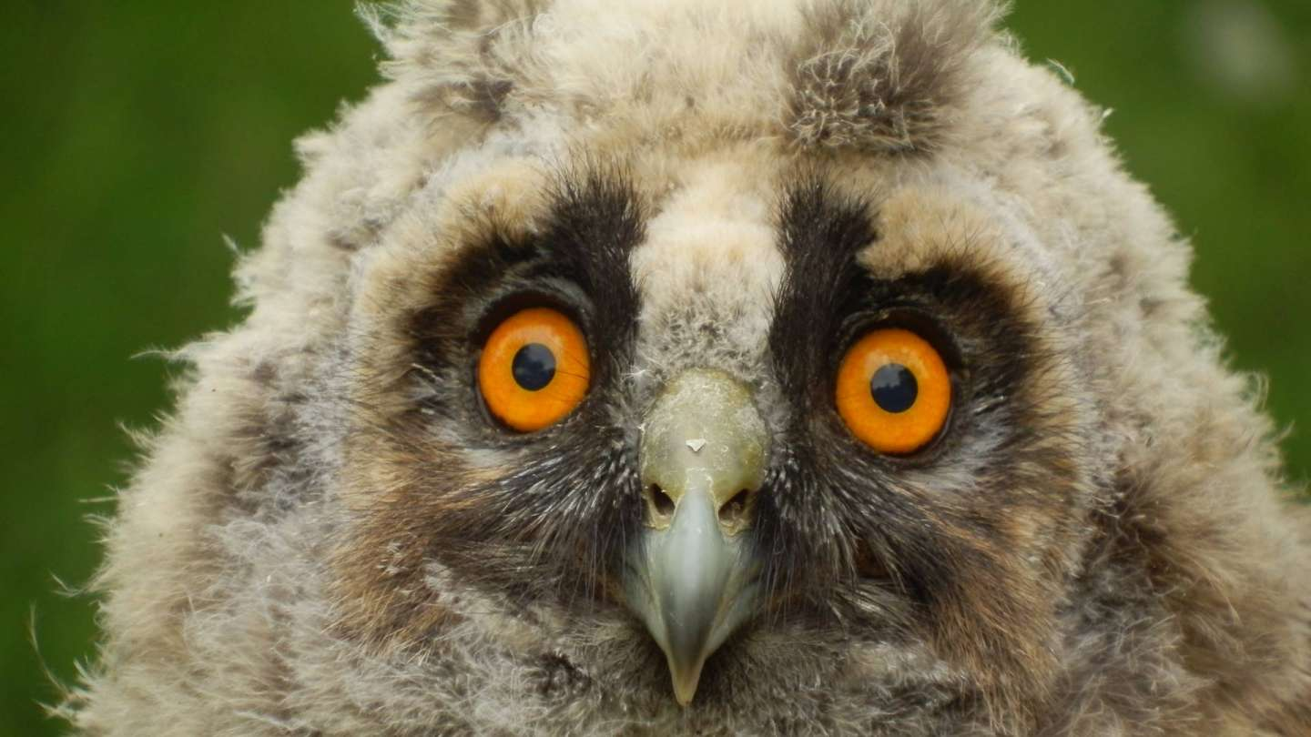 Have you found a young owl or a falcon? By taking them away you can do more harm then to help them