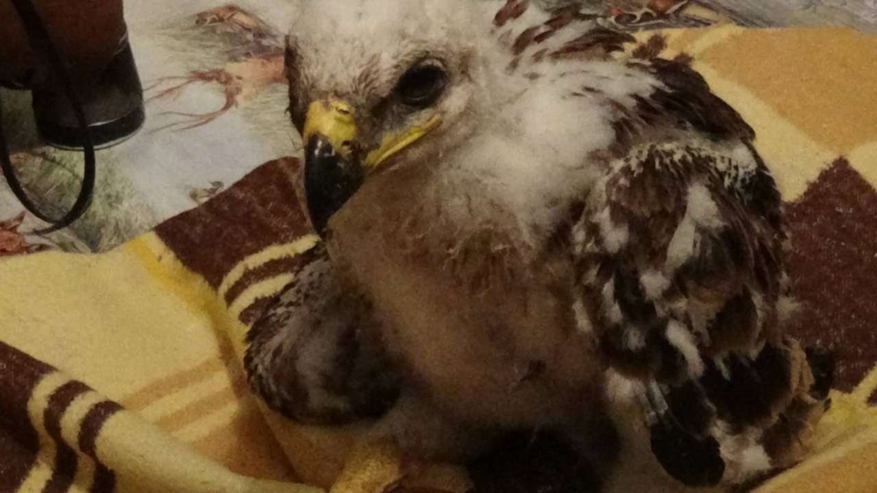 Young Imperial Eagle survived