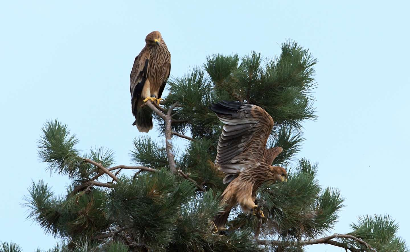 Adopted Eagle Karol flied out of nest