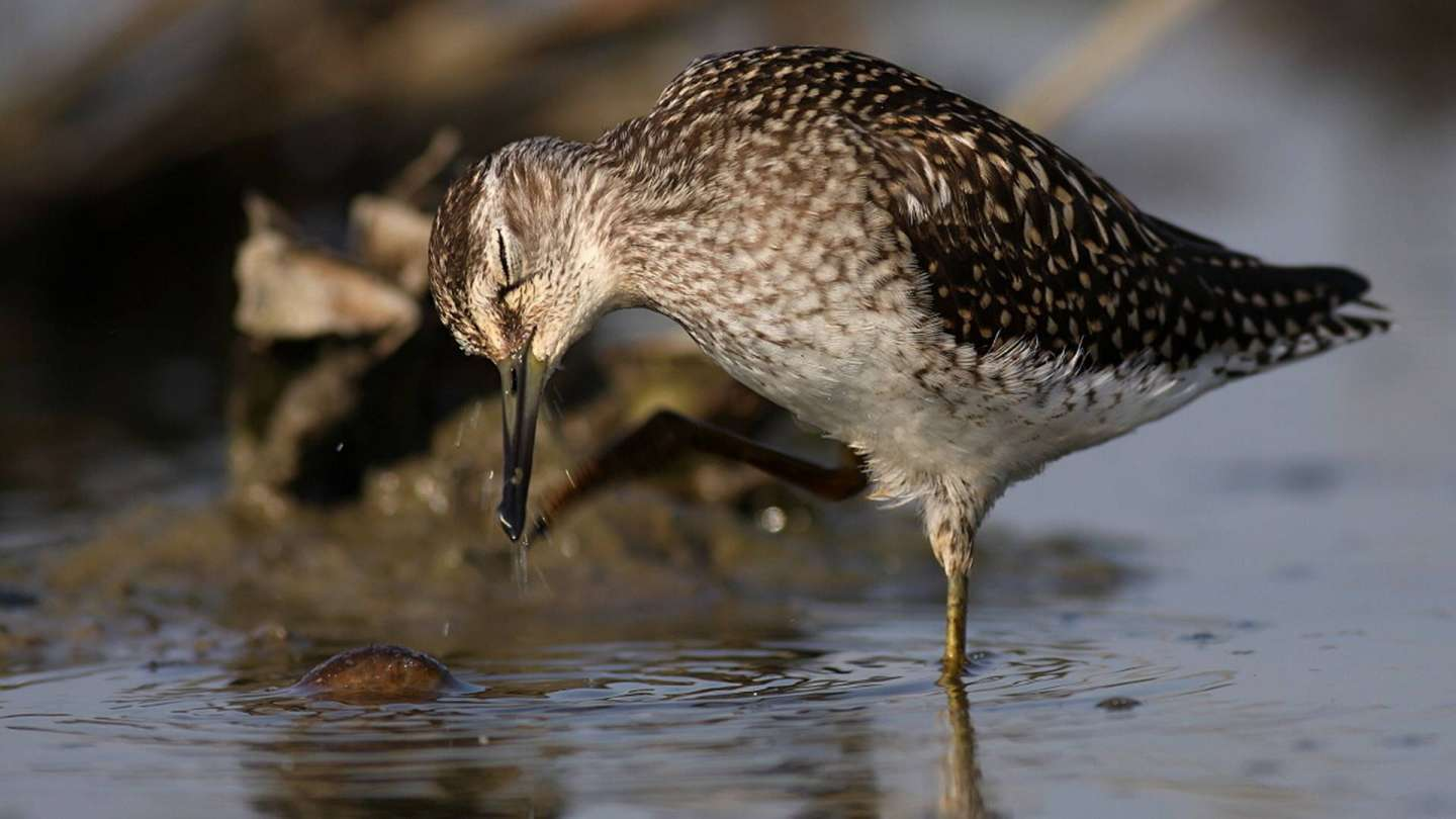Shorebirds, the World's Greatest Travelers, Face Extinction