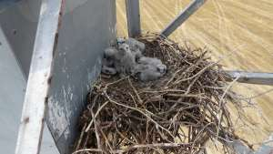 Energetics postponed the work on the wiring, where the Eurasian Hobby nests