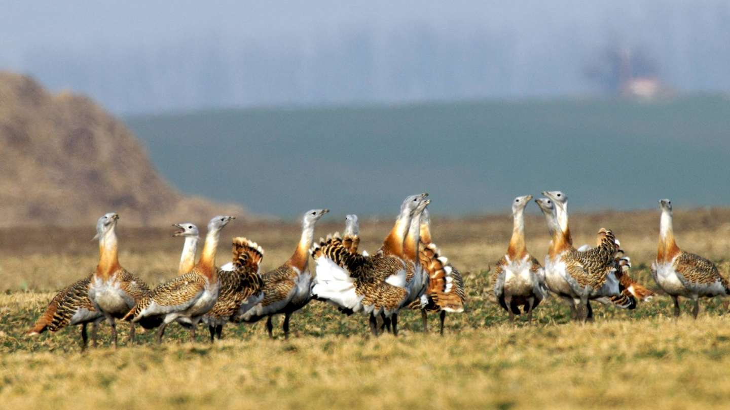Great bustard seen after 30 years