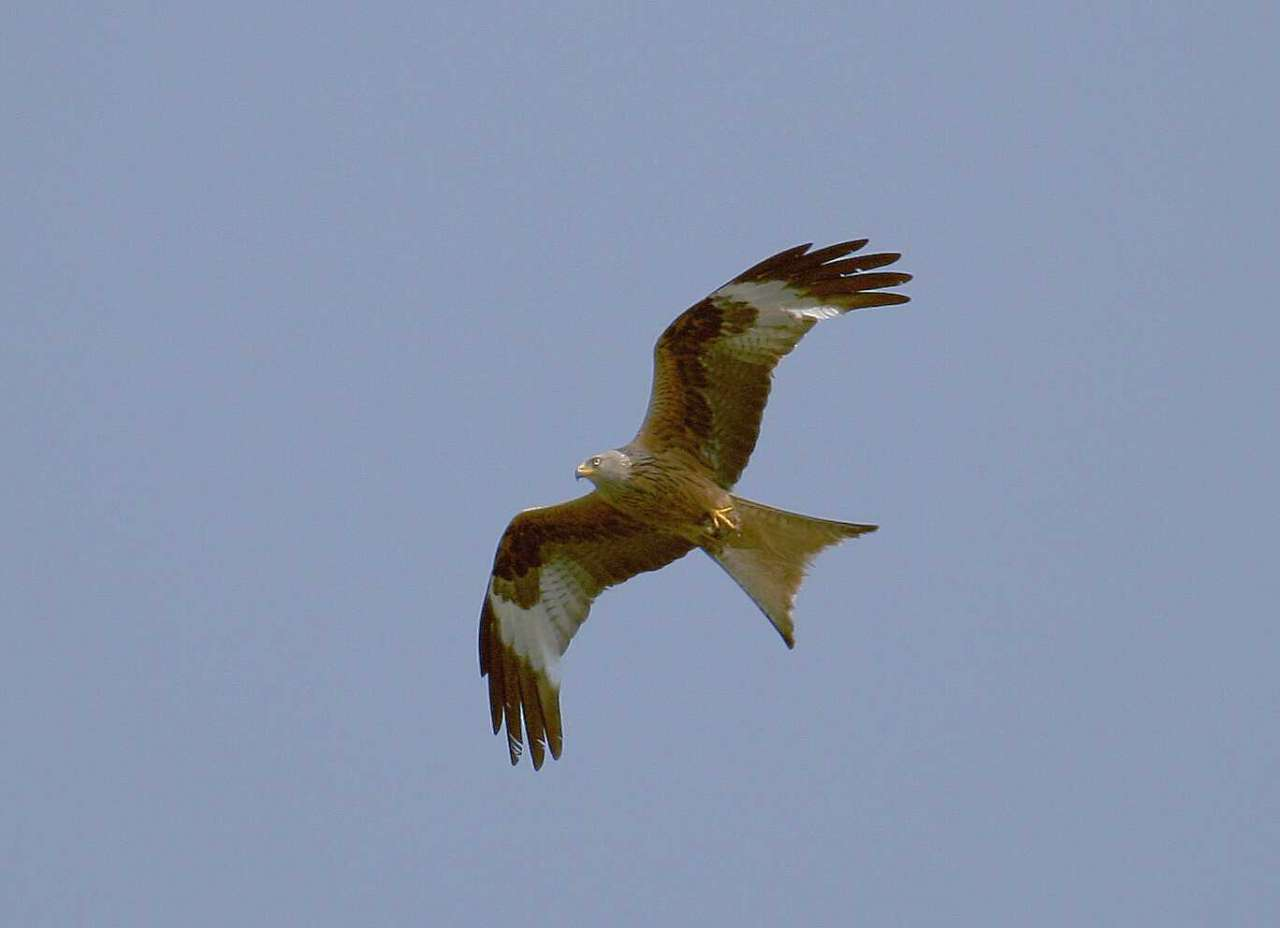 The Red kite from the east to spend the winter in the west