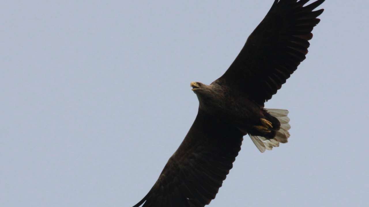 Ornithologists in Europe continued in the monitoring of raptors