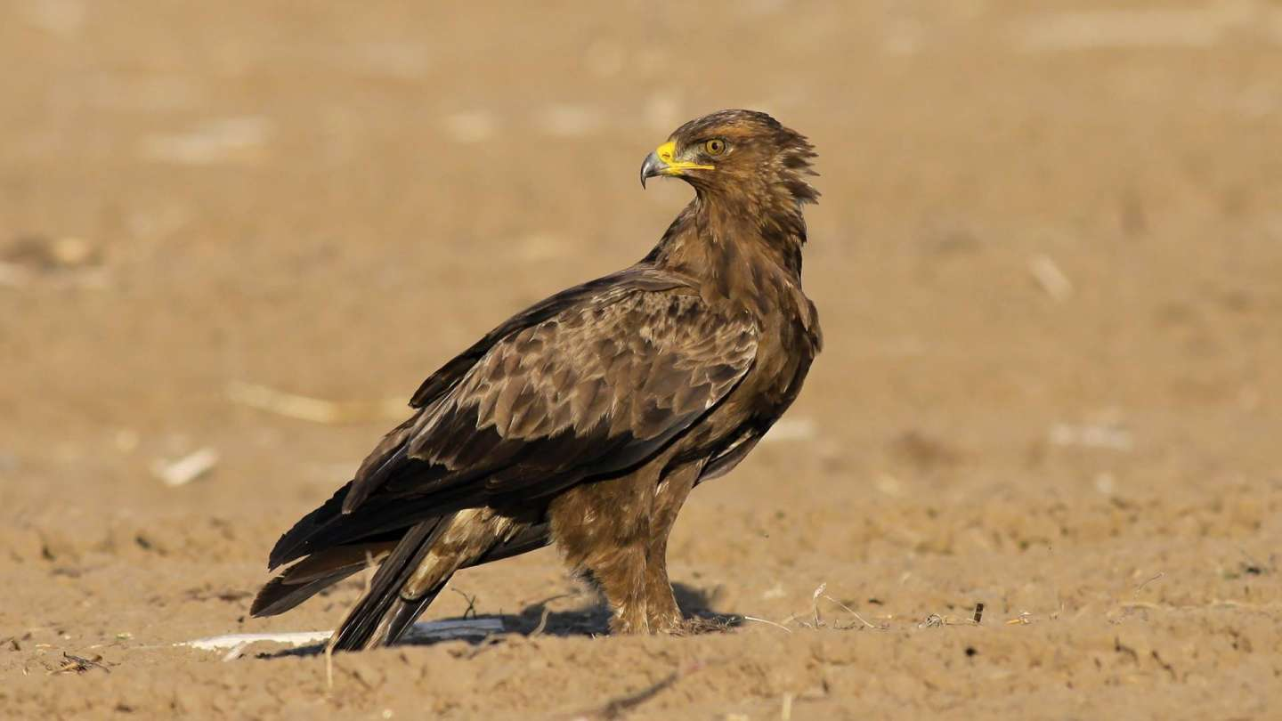 In Košice you will see the Lesser Spotted Eagle - VIDEO