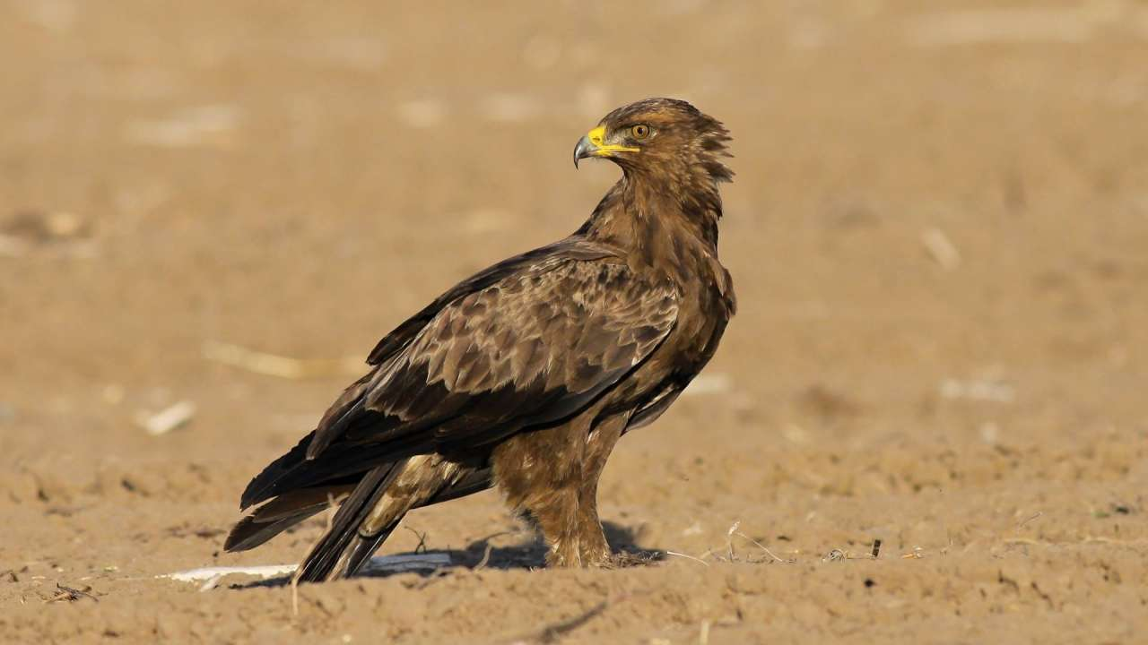 "Exhibition ""High on the wings - What we know about the Lesser Spotted Eagle"""